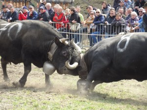Cow Fights in Valais (Ringkuhkmpfe)